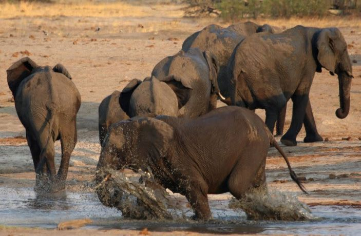 African elephants face growing risk of extinction over poaching, habitat loss