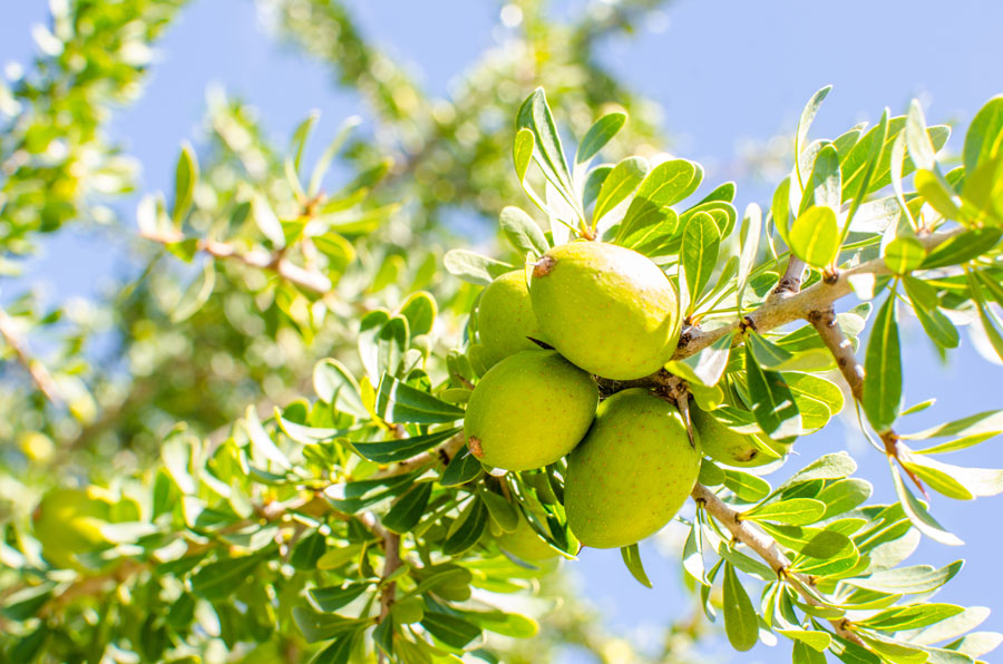 Benefits of oil from argan tree, a plant that grows in North Africa