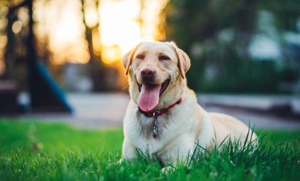 Why Islam prohibits keeping dogs as pets and companions?